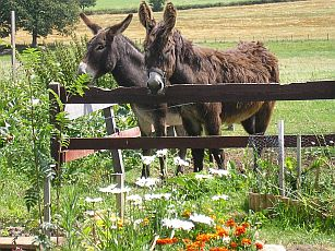 Our 2 donkeys Rubens and his mother Fanette